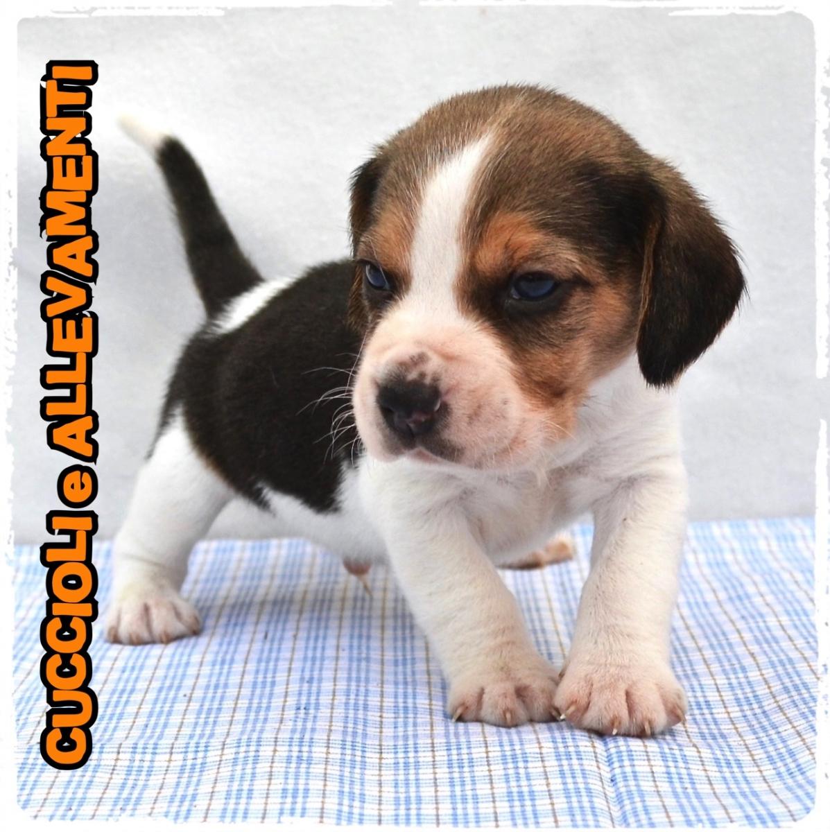 Beagle 12_wm