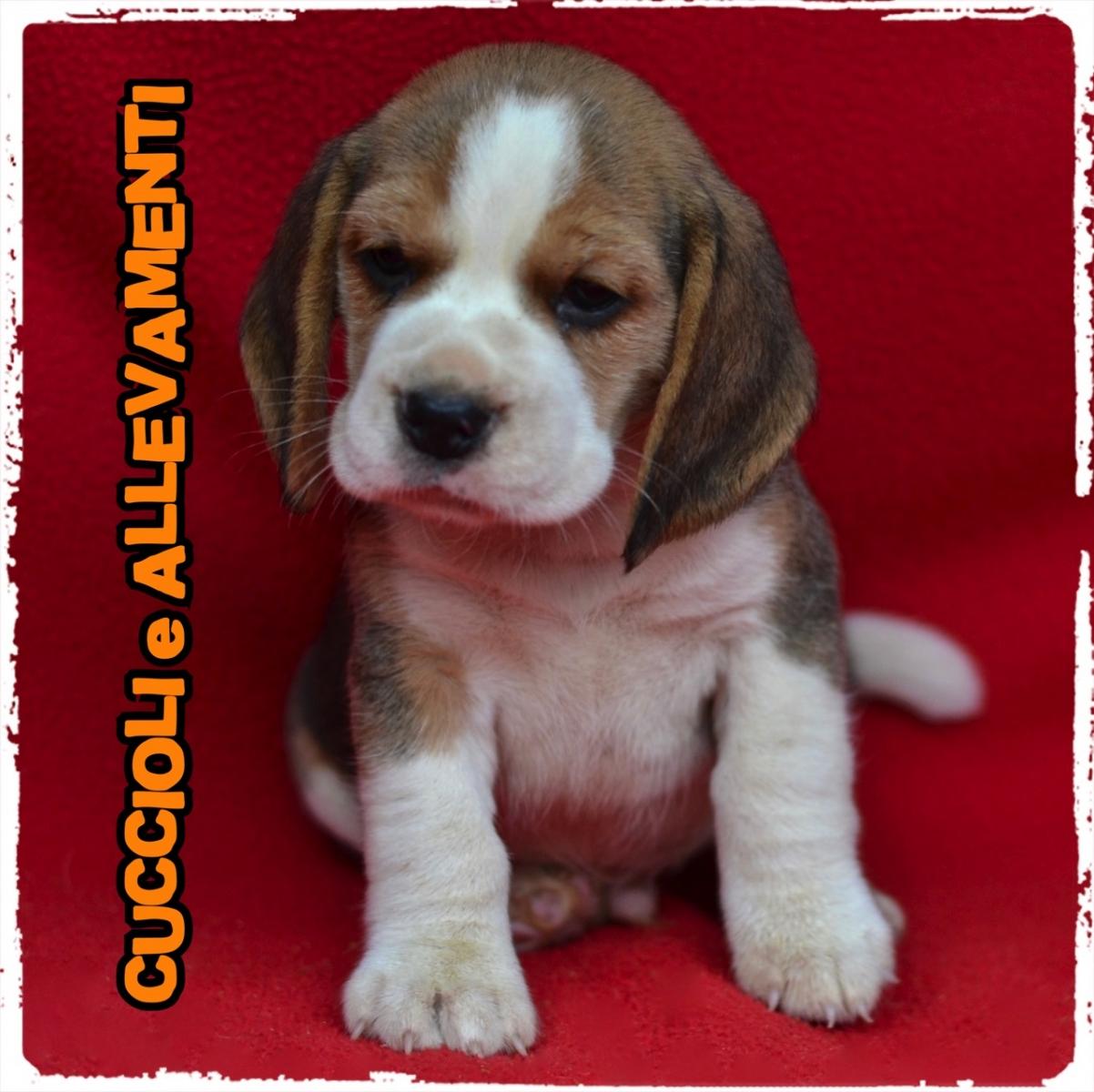 Beagle 15_wm