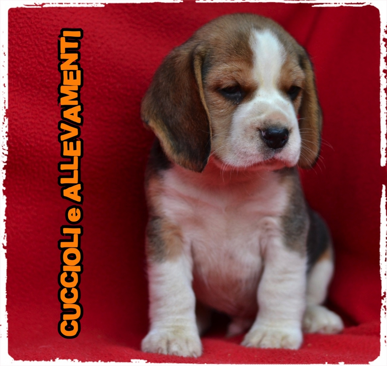 Beagle 16_wm