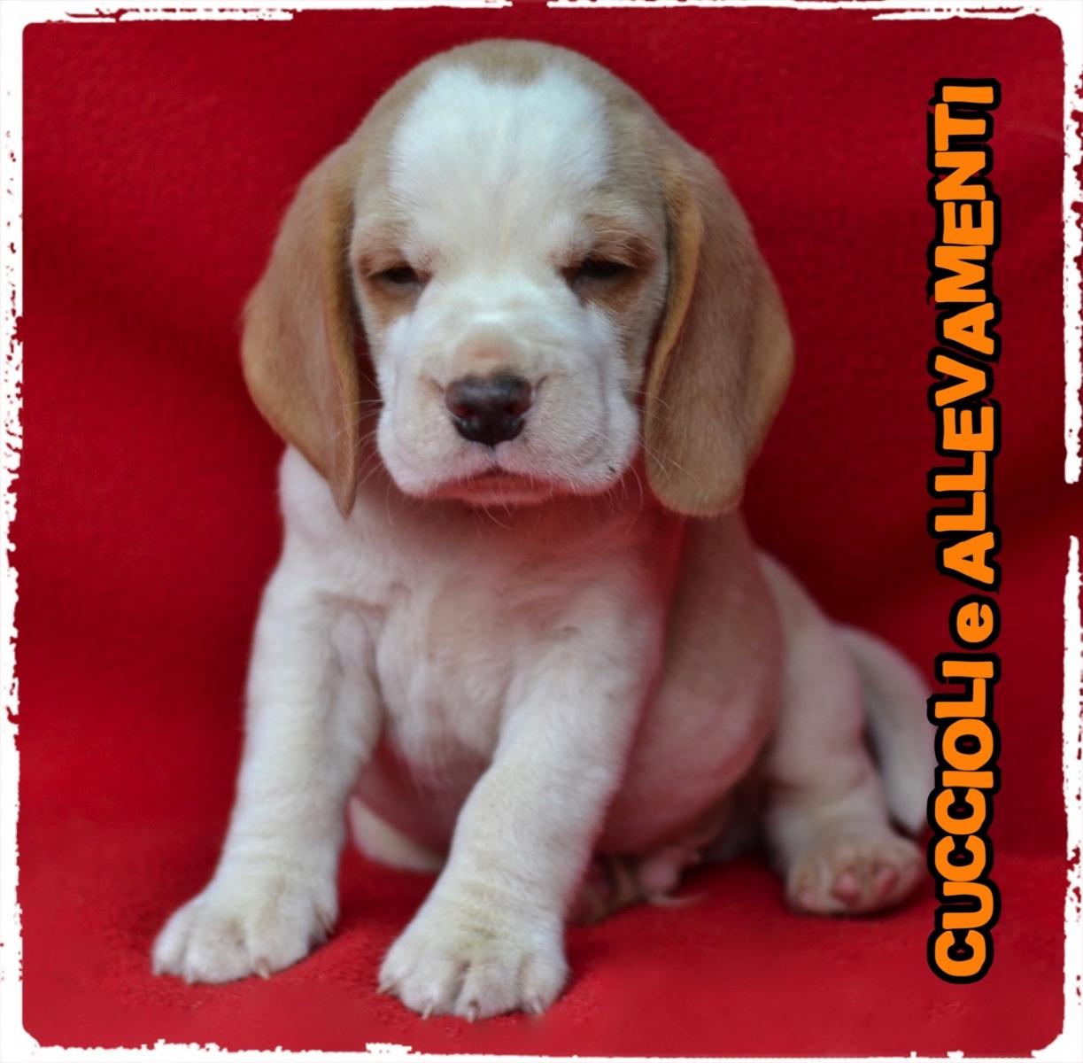 Beagle 18_wm