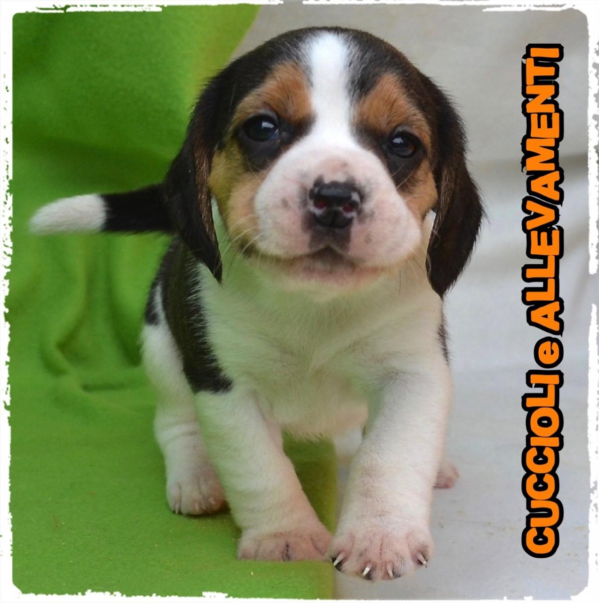 Beagle 1_wm