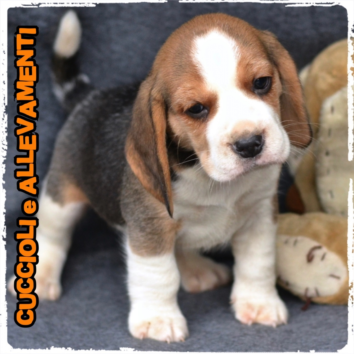 Beagle 20_wm