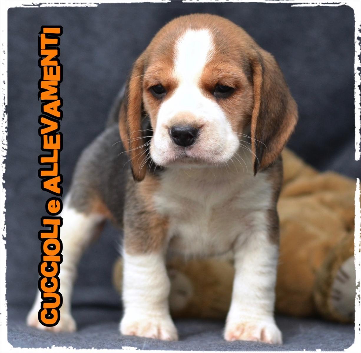 Beagle 21_wm