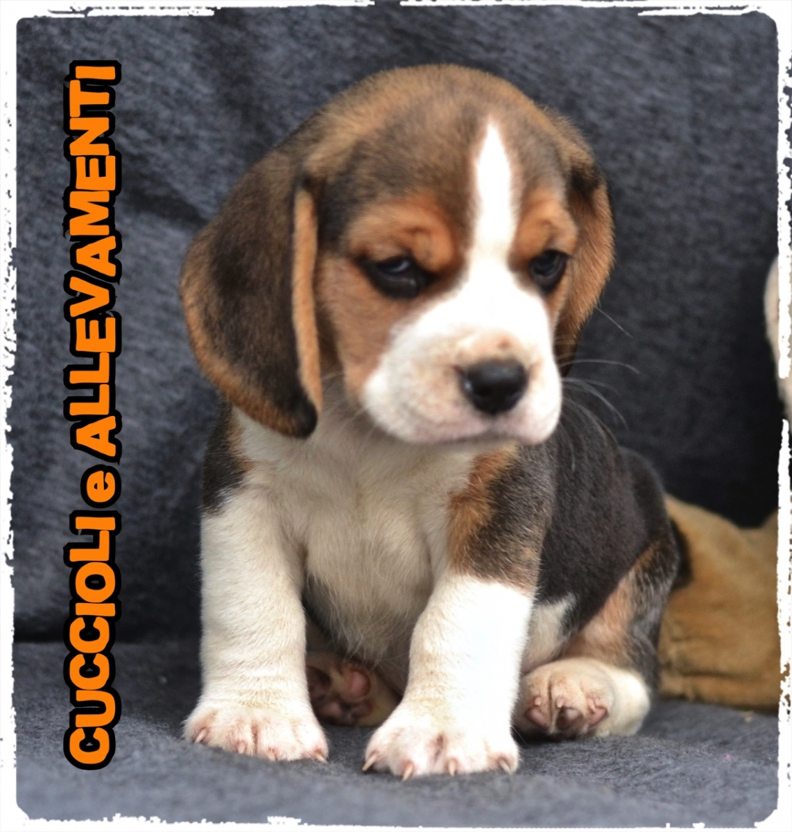 Beagle 23_wm