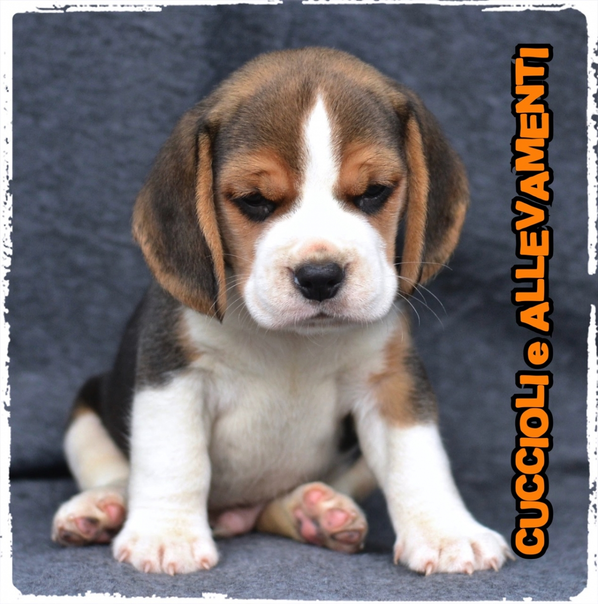 Beagle 24_wm