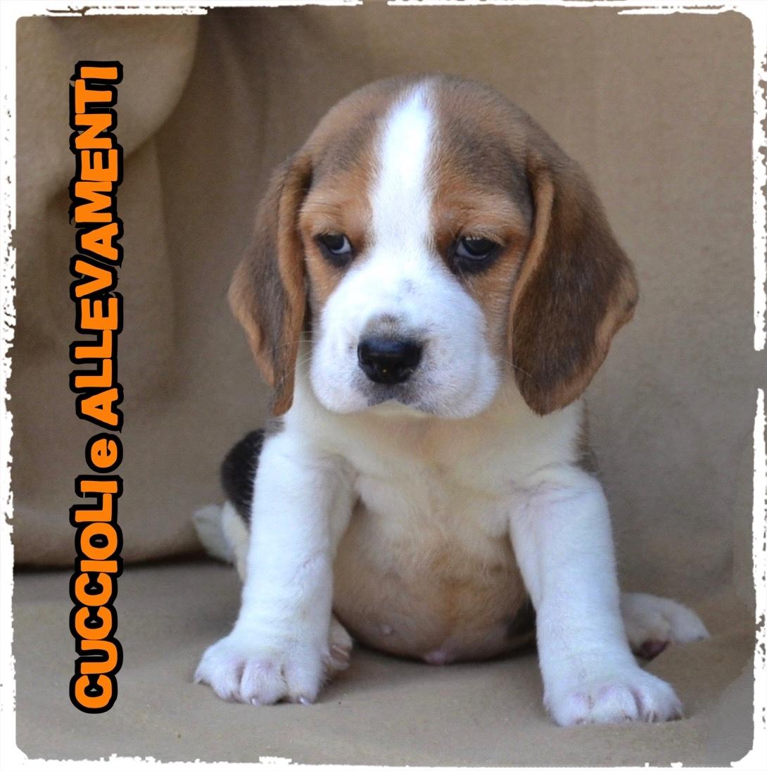 Beagle 26_wm