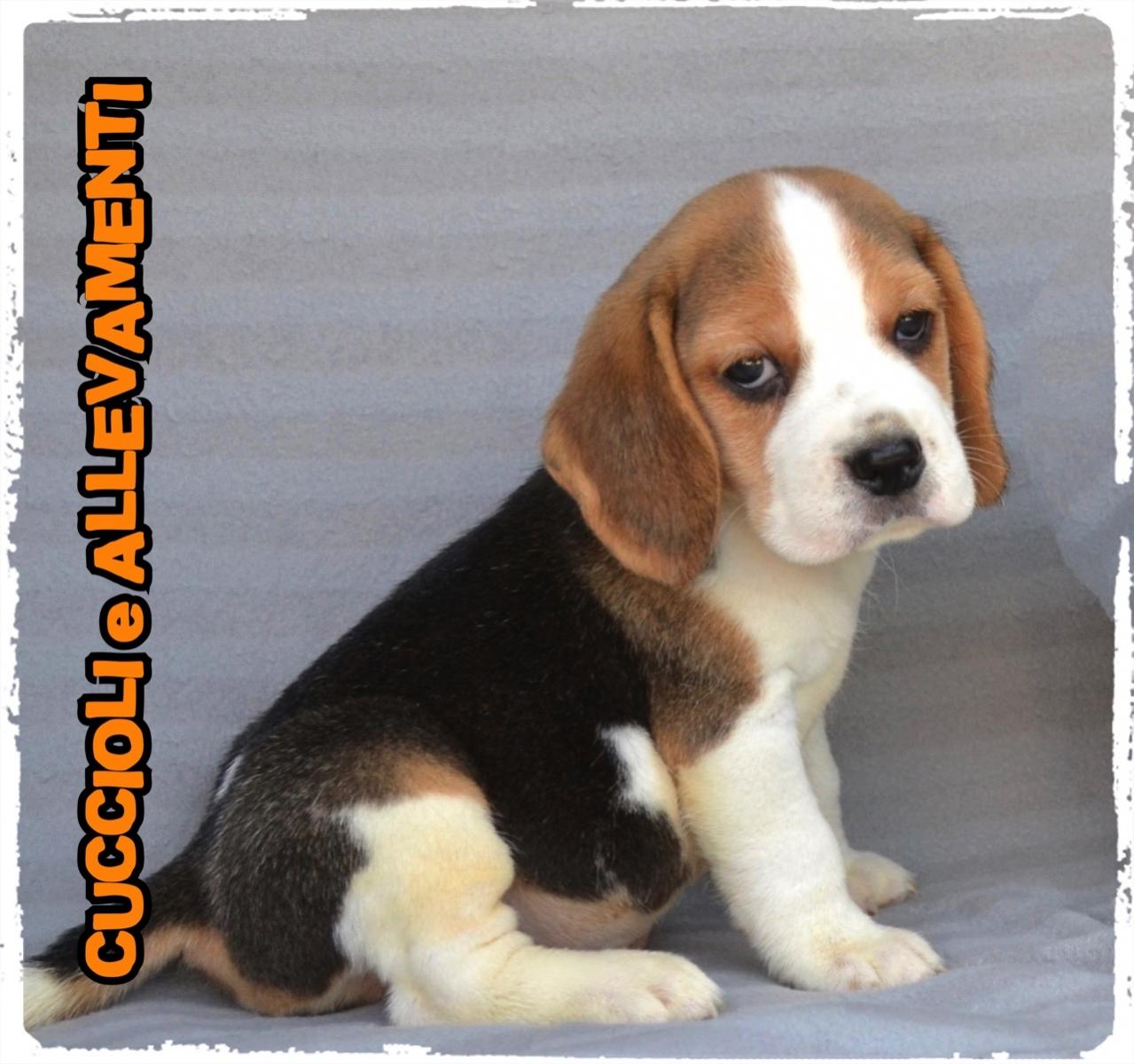 Beagle 27_wm
