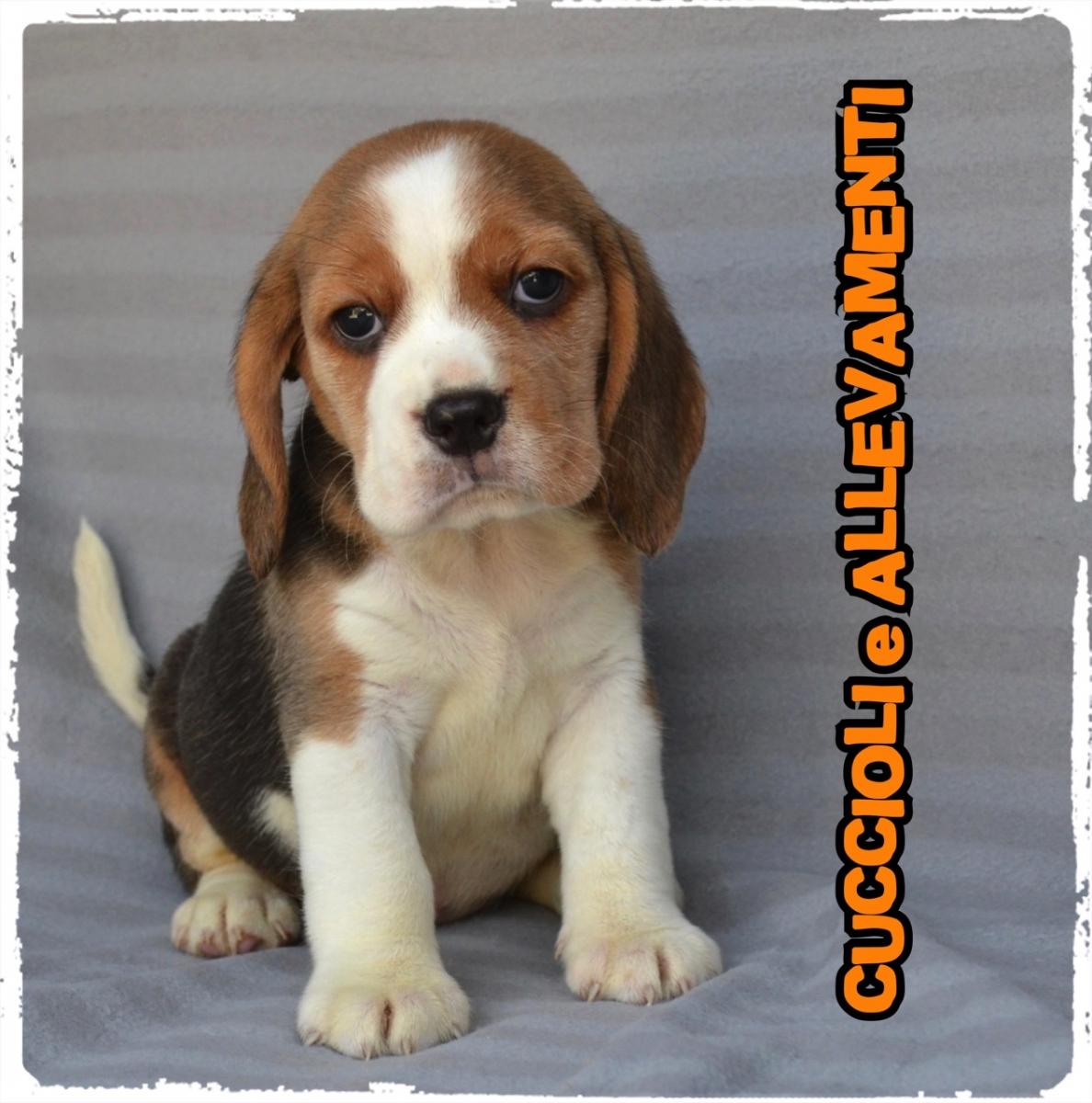 Beagle 28_wm
