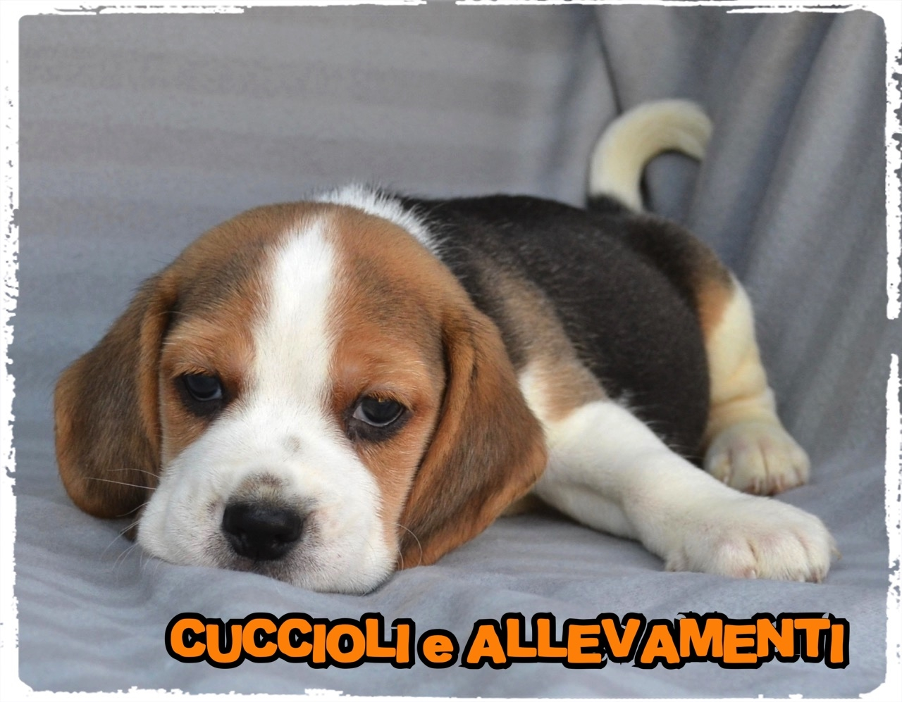 Beagle 29_wm