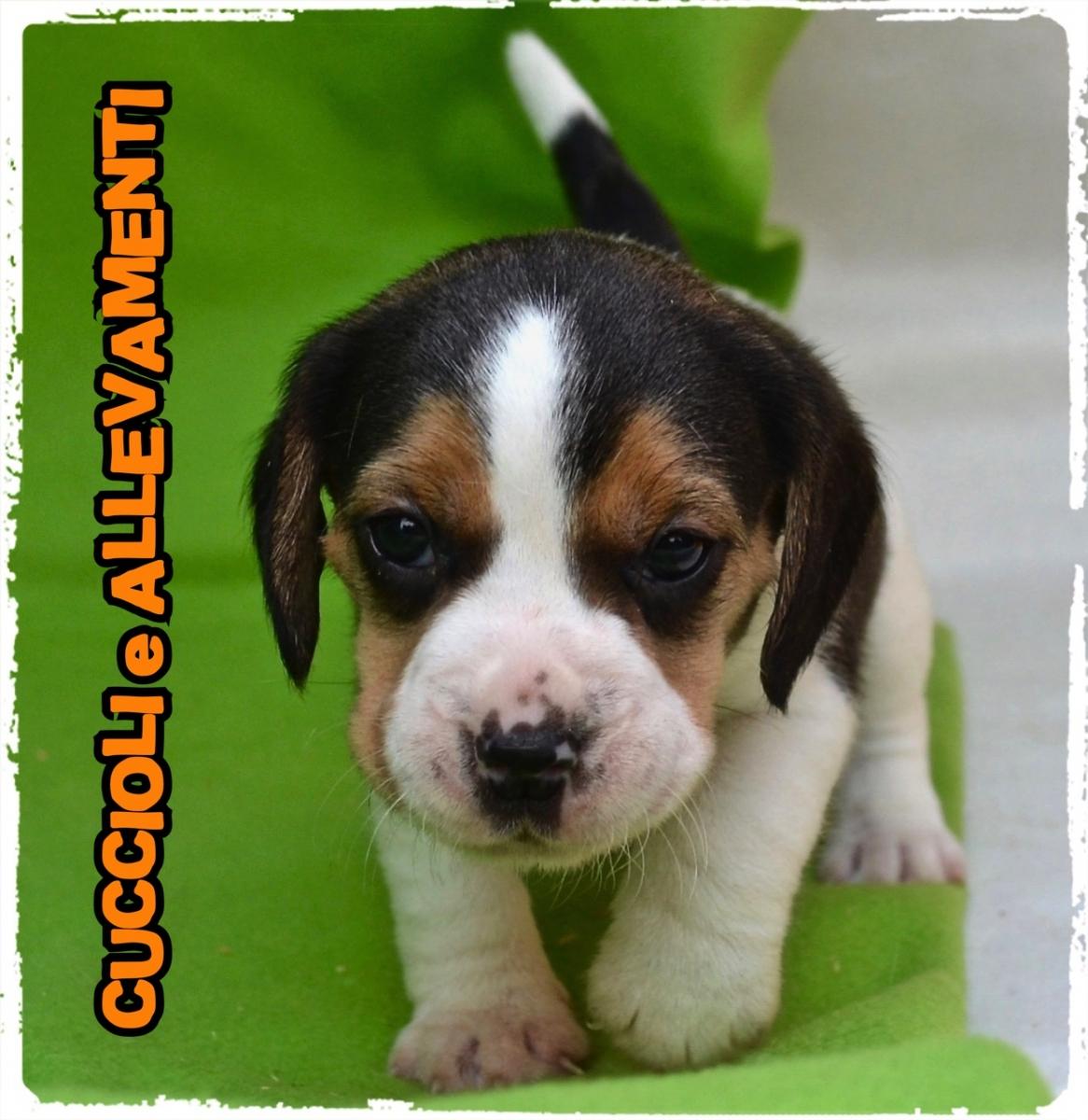 Beagle 2_wm