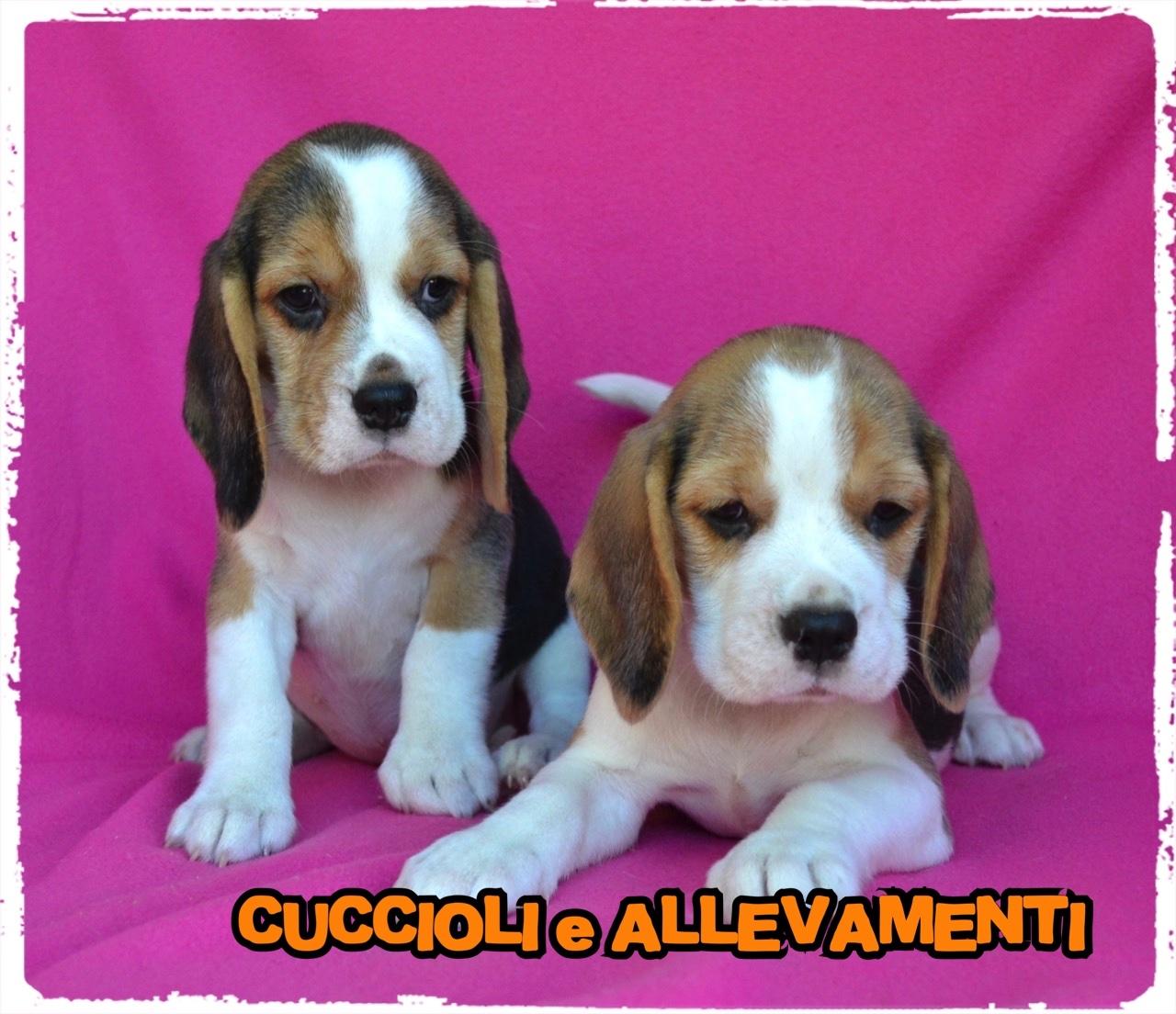 Beagle 30_wm