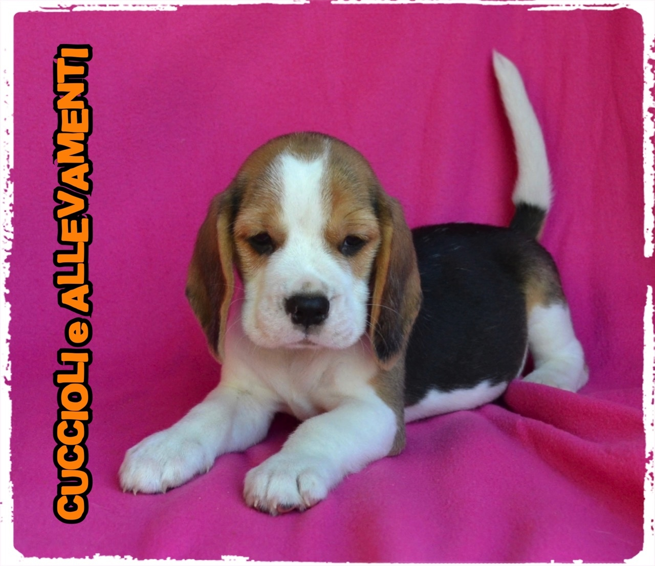 Beagle 31_wm