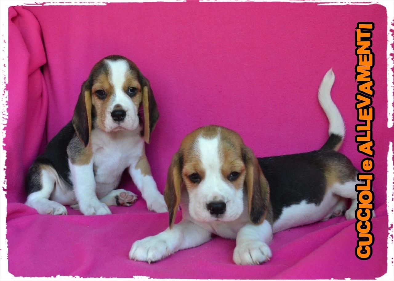 Beagle 32_wm