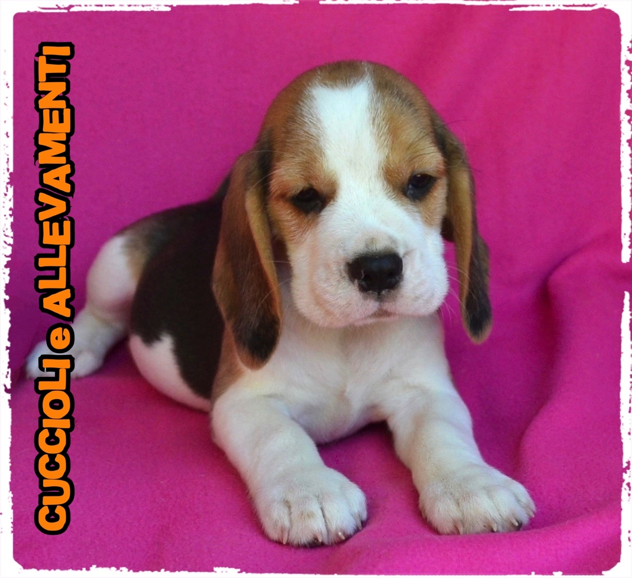 Beagle 33_wm