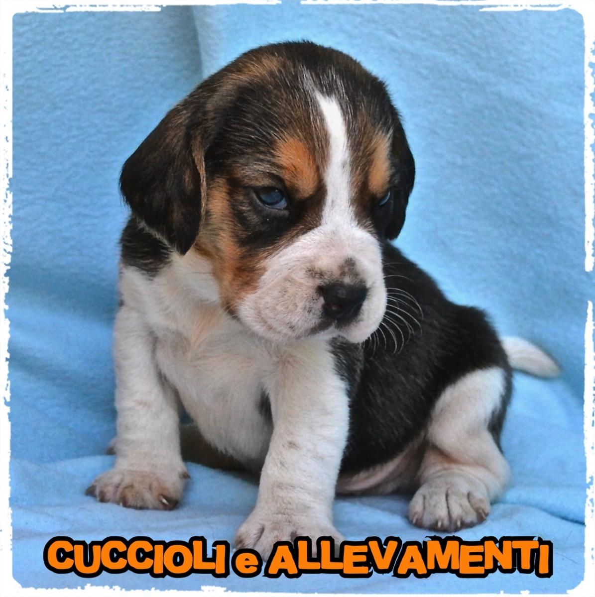 Beagle 6_wm