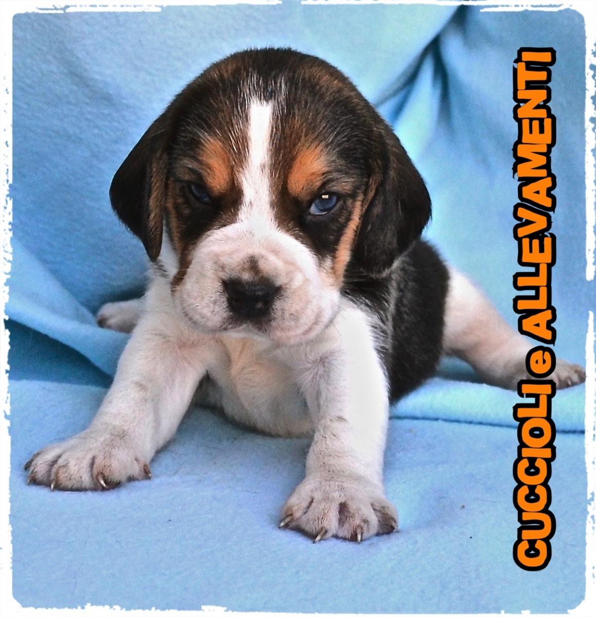 Beagle 7_wm