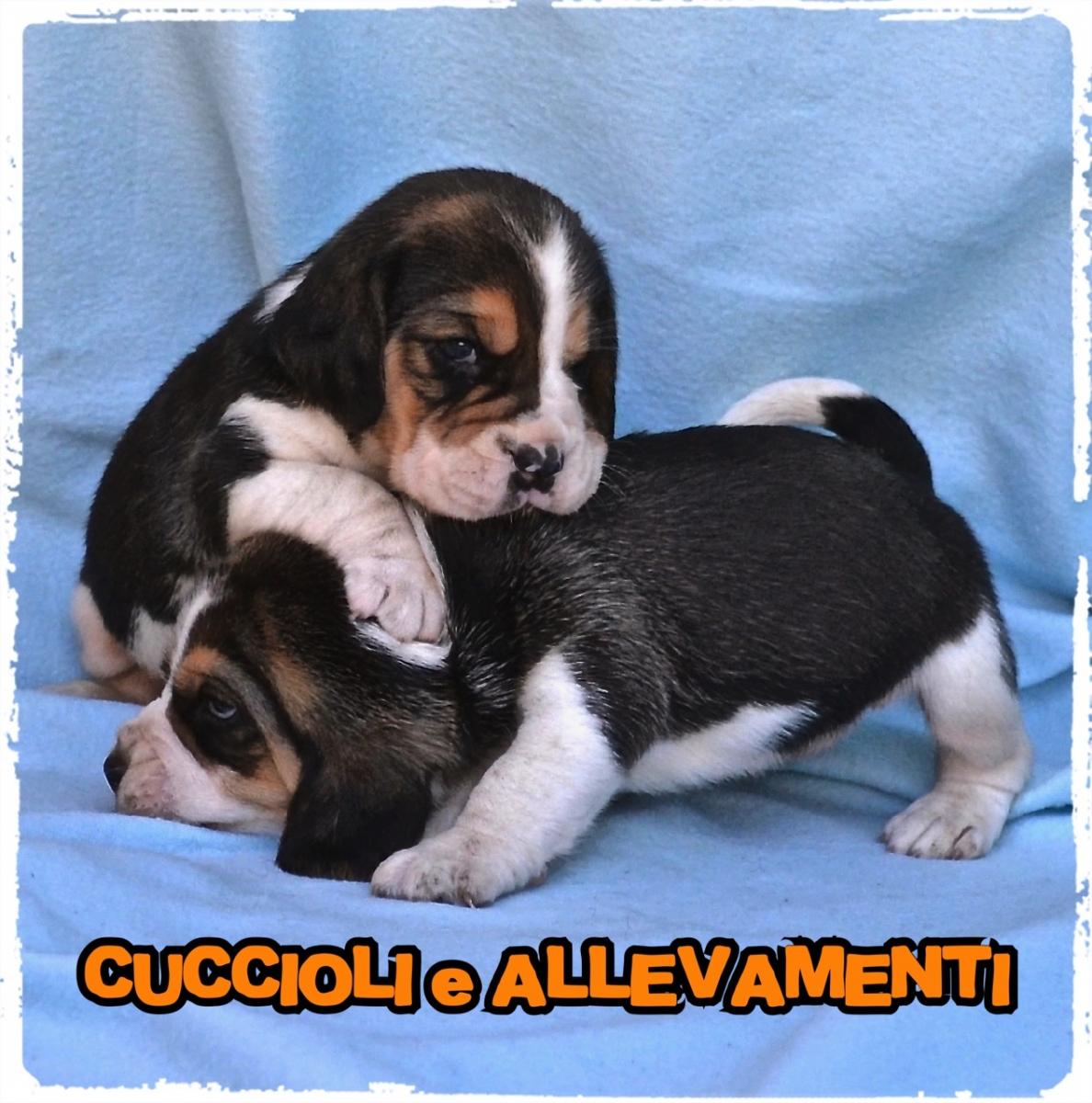 Beagle 8_wm