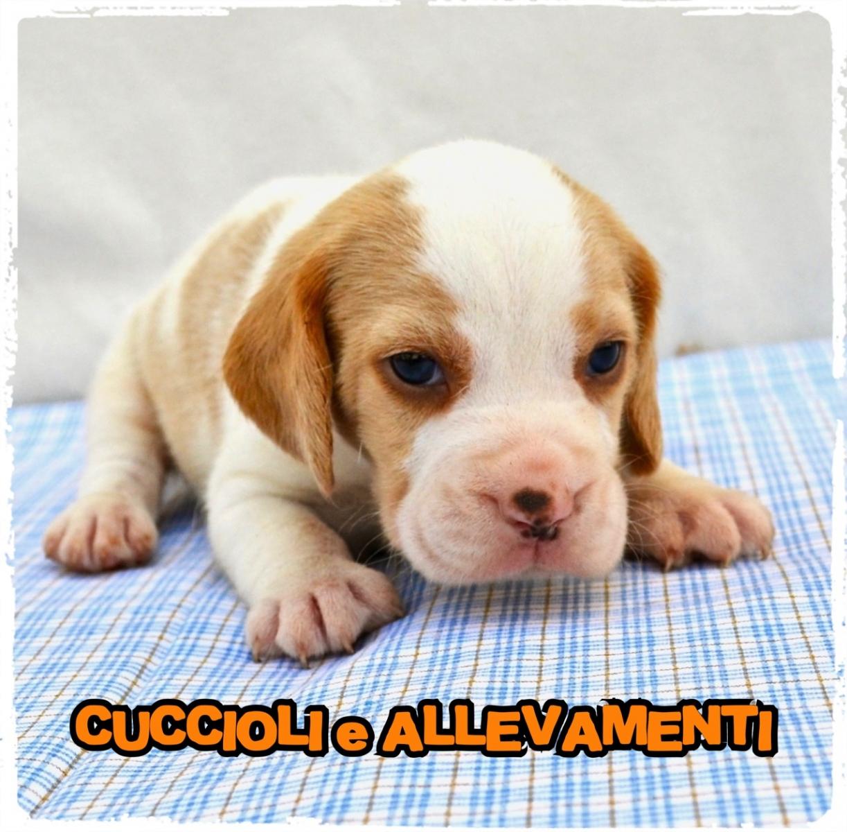 Beagle 9_wm