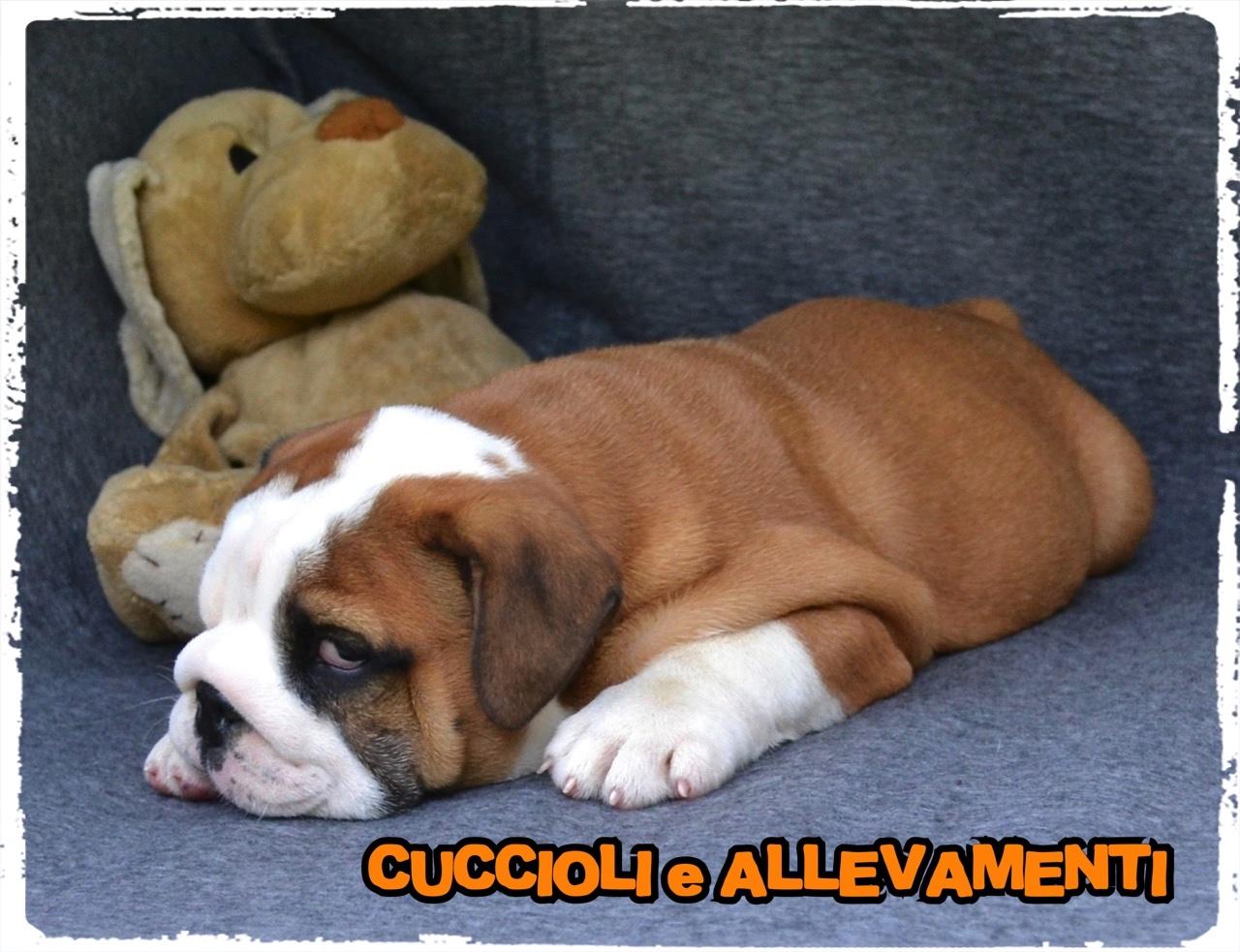 Bulldog Inglese 11_wm