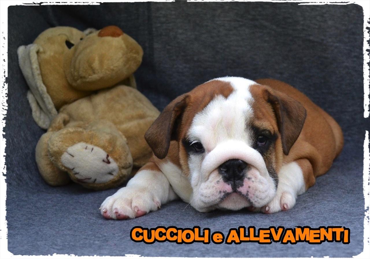 Bulldog Inglese 12_wm