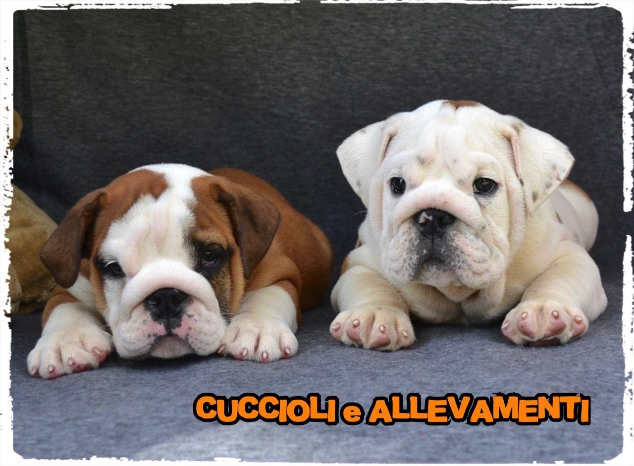 Bulldog Inglese 13_wm