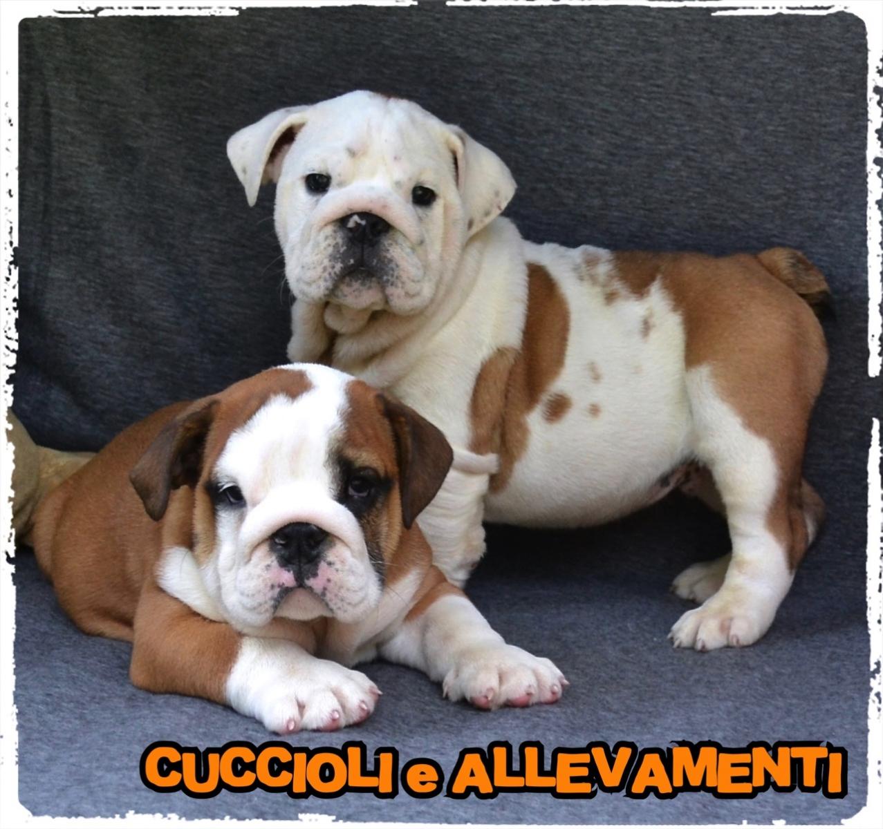 Bulldog Inglese 15_wm