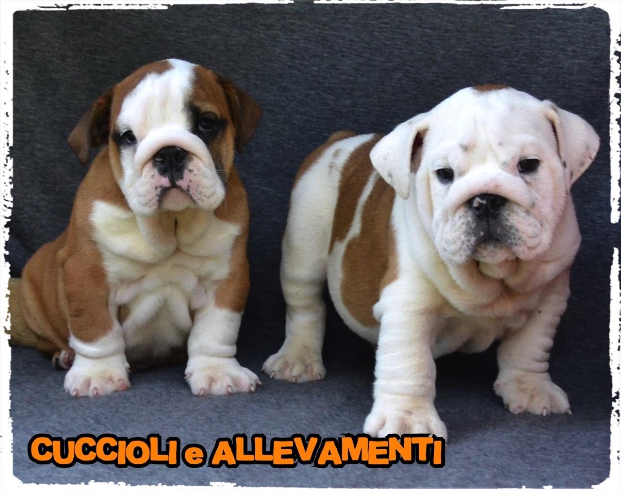 Bulldog Inglese 16_wm