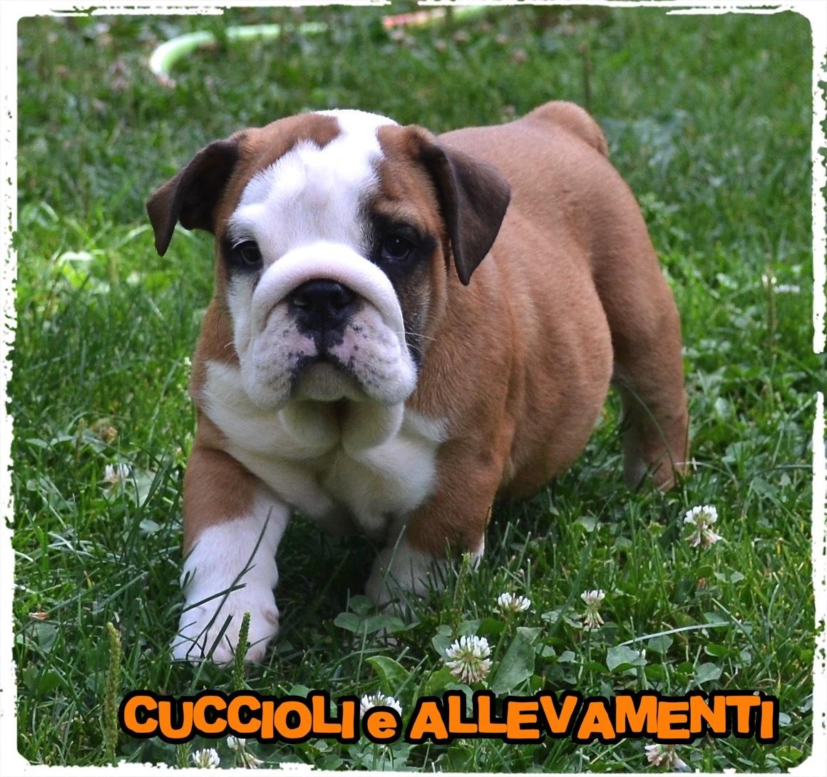 Bulldog Inglese 1_wm