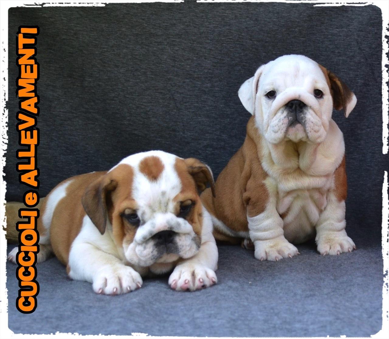 Bulldog Inglese 20_wm