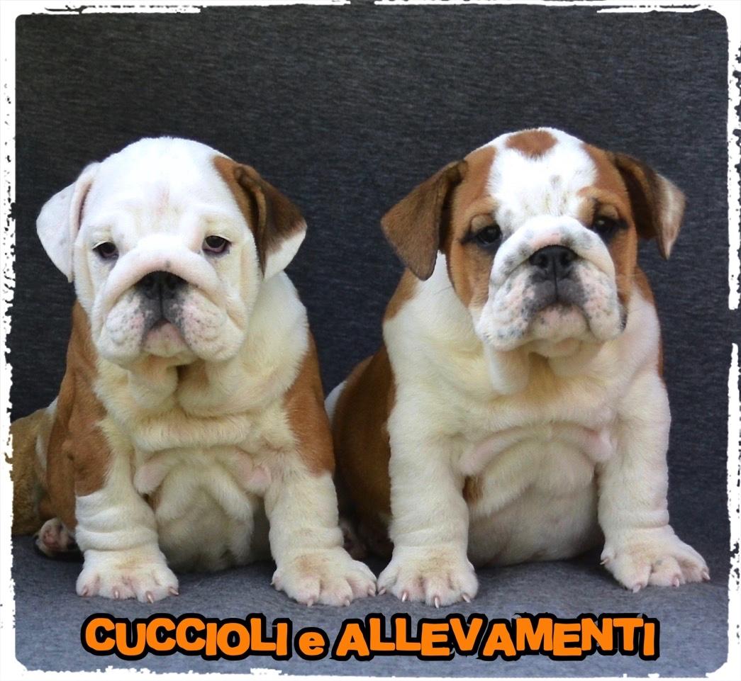 Bulldog Inglese 22_wm