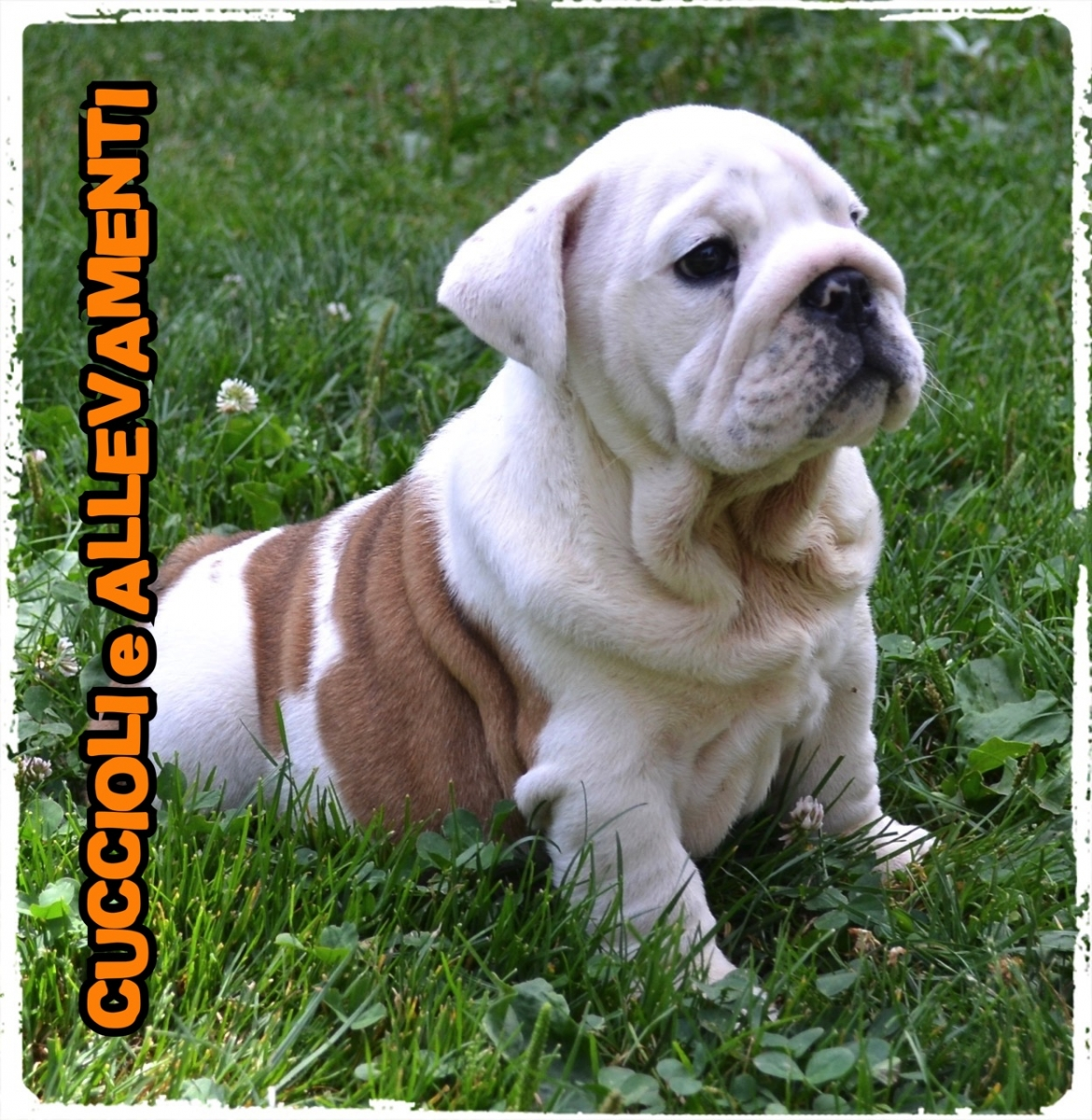 Bulldog Inglese 4_wm