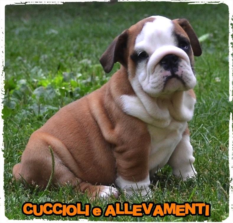 Bulldog Inglese 6_wm