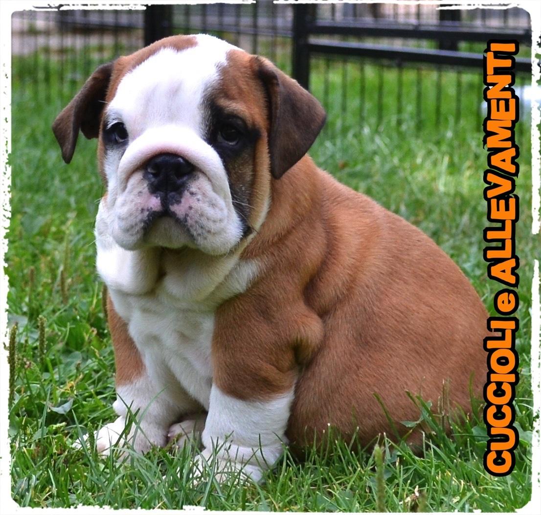 Bulldog Inglese 7_wm