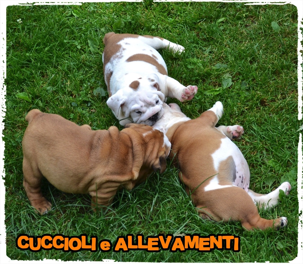 Bulldog Inglese 9_wm