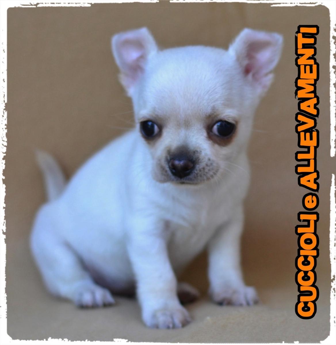 Chihuahua 11_wm