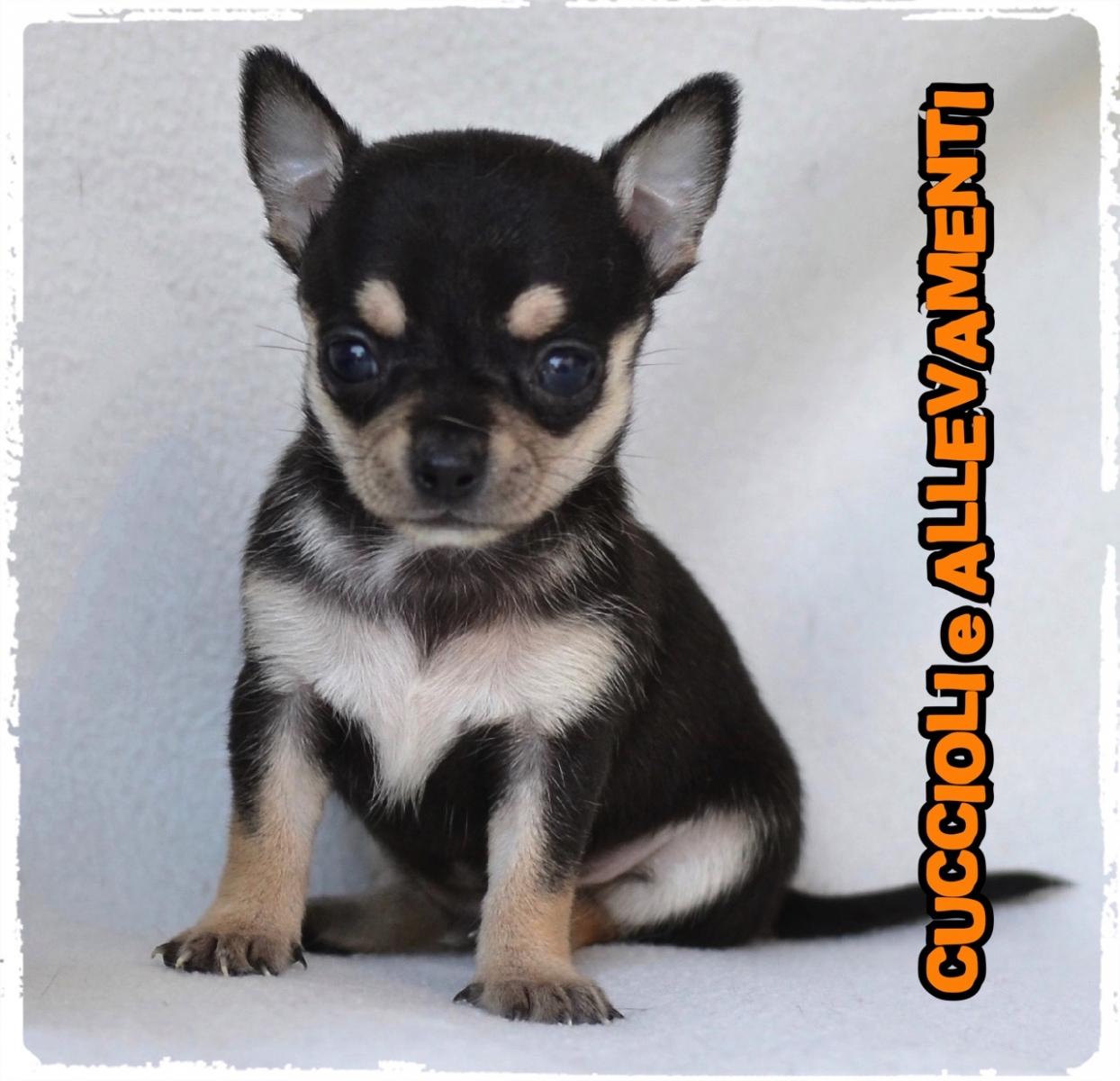 Chihuahua 14_wm