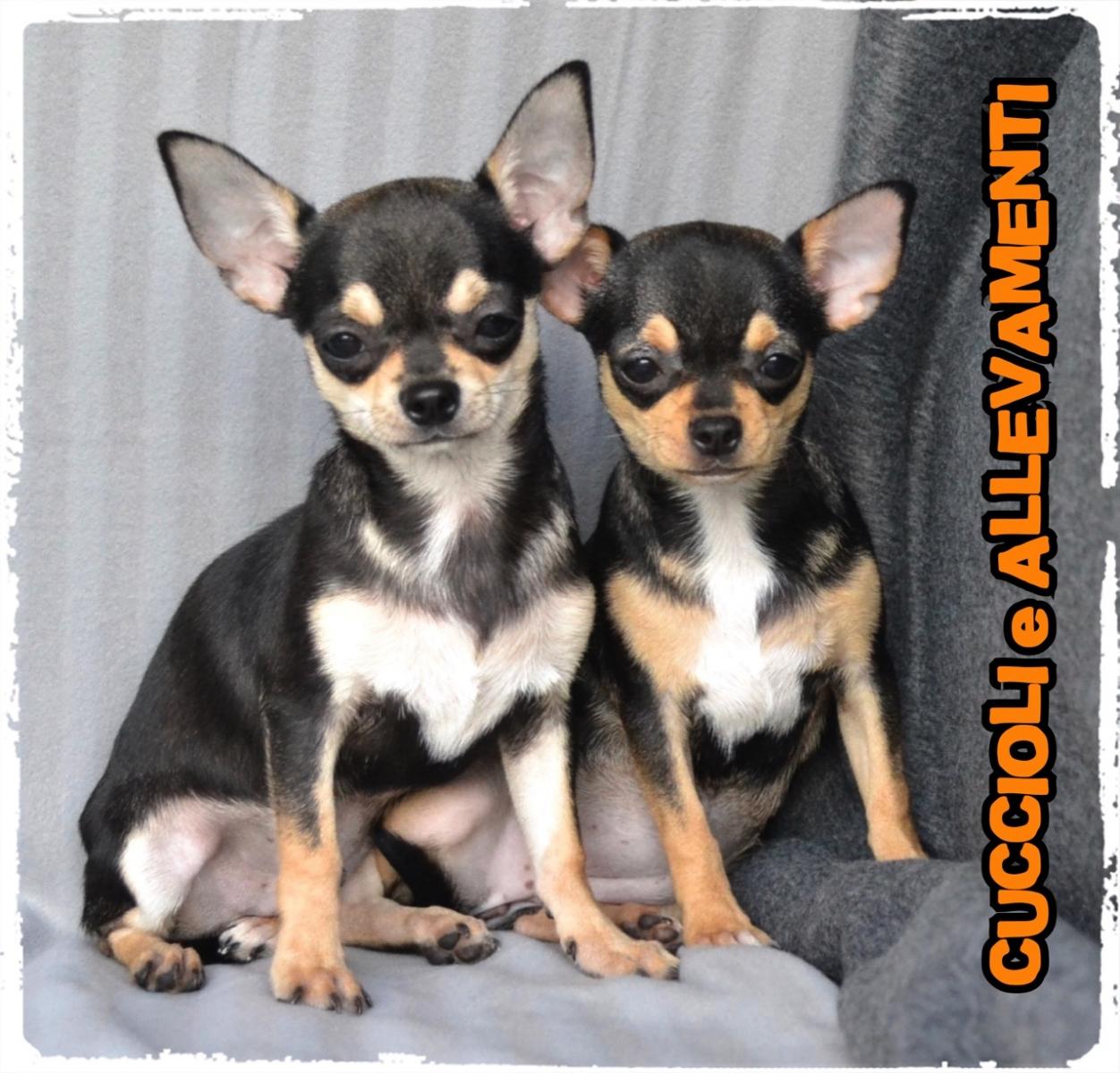Chihuahua 15_wm