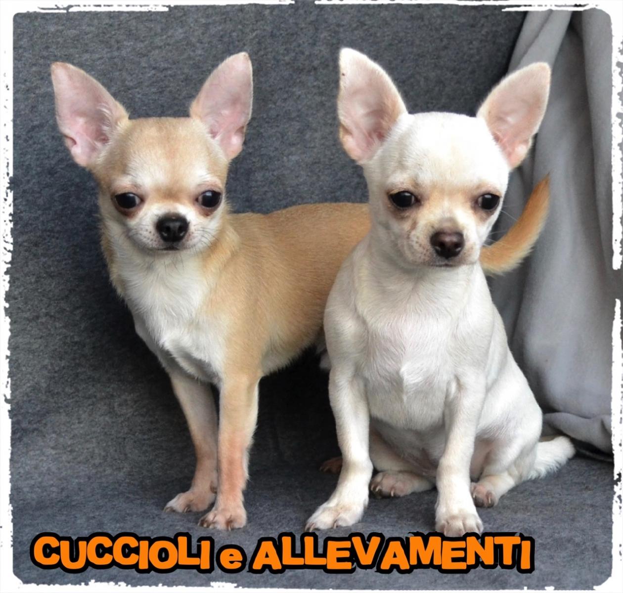 Chihuahua 16_wm