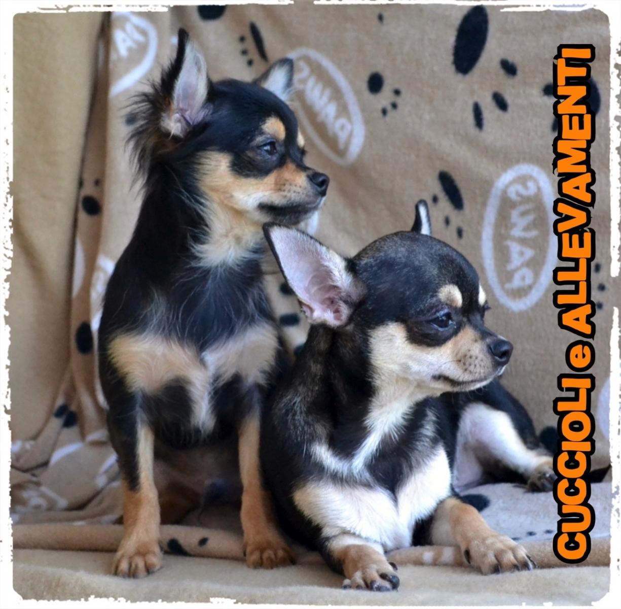 Chihuahua 19_wm
