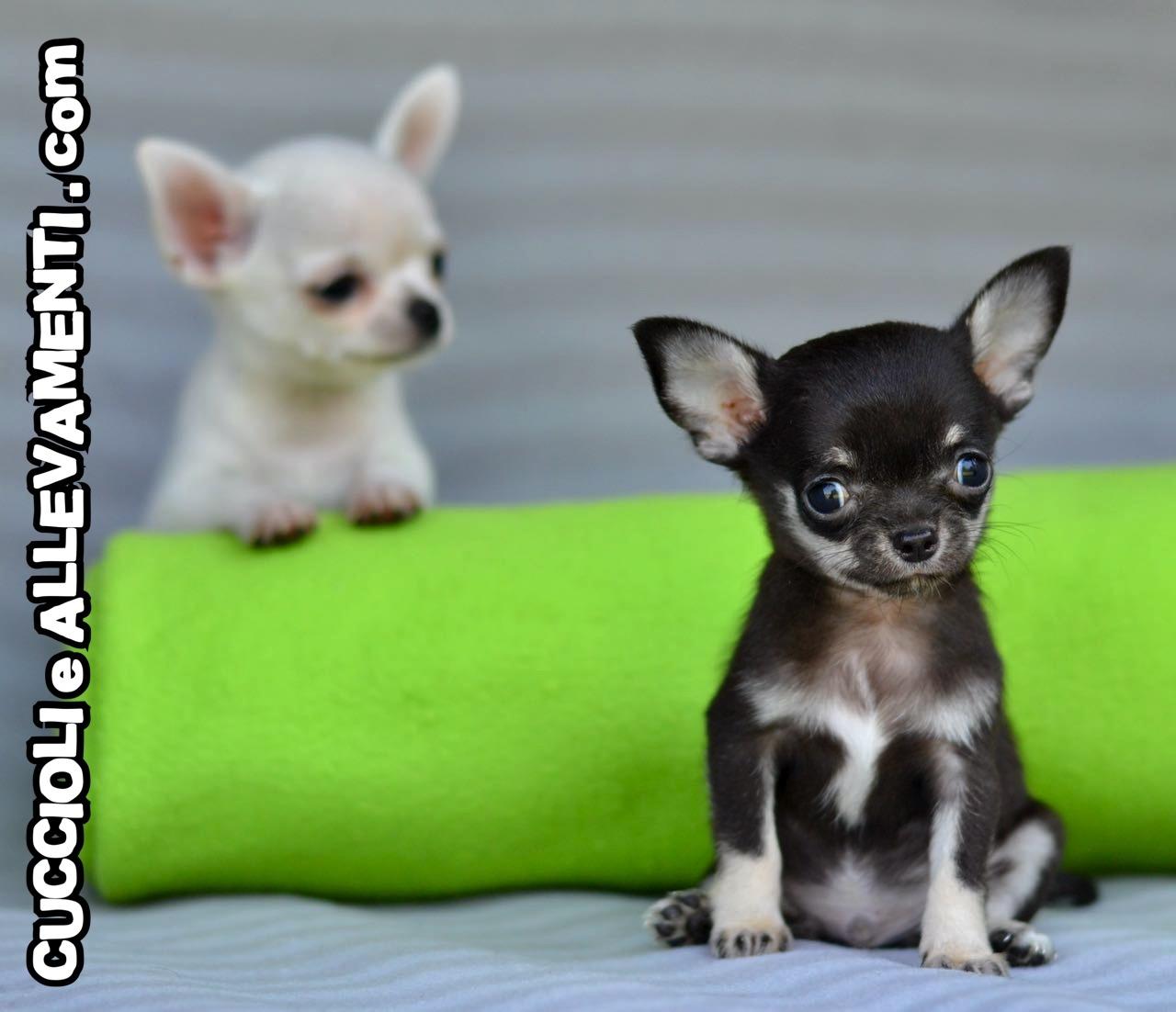 Chihuahua 1_15_wm