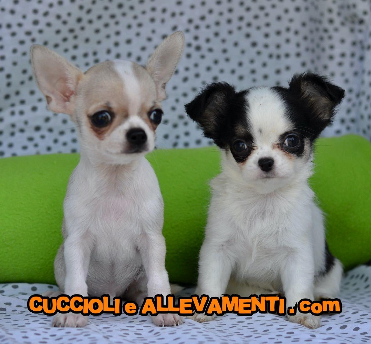 Chihuahua 1_17_wm
