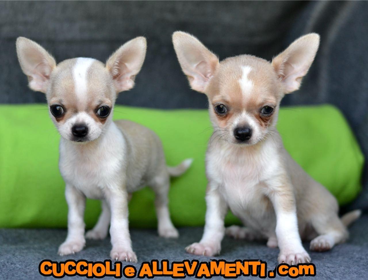 Chihuahua 1_1_wm