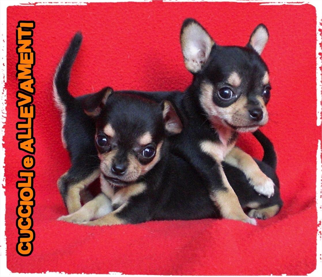 Chihuahua 1_wm
