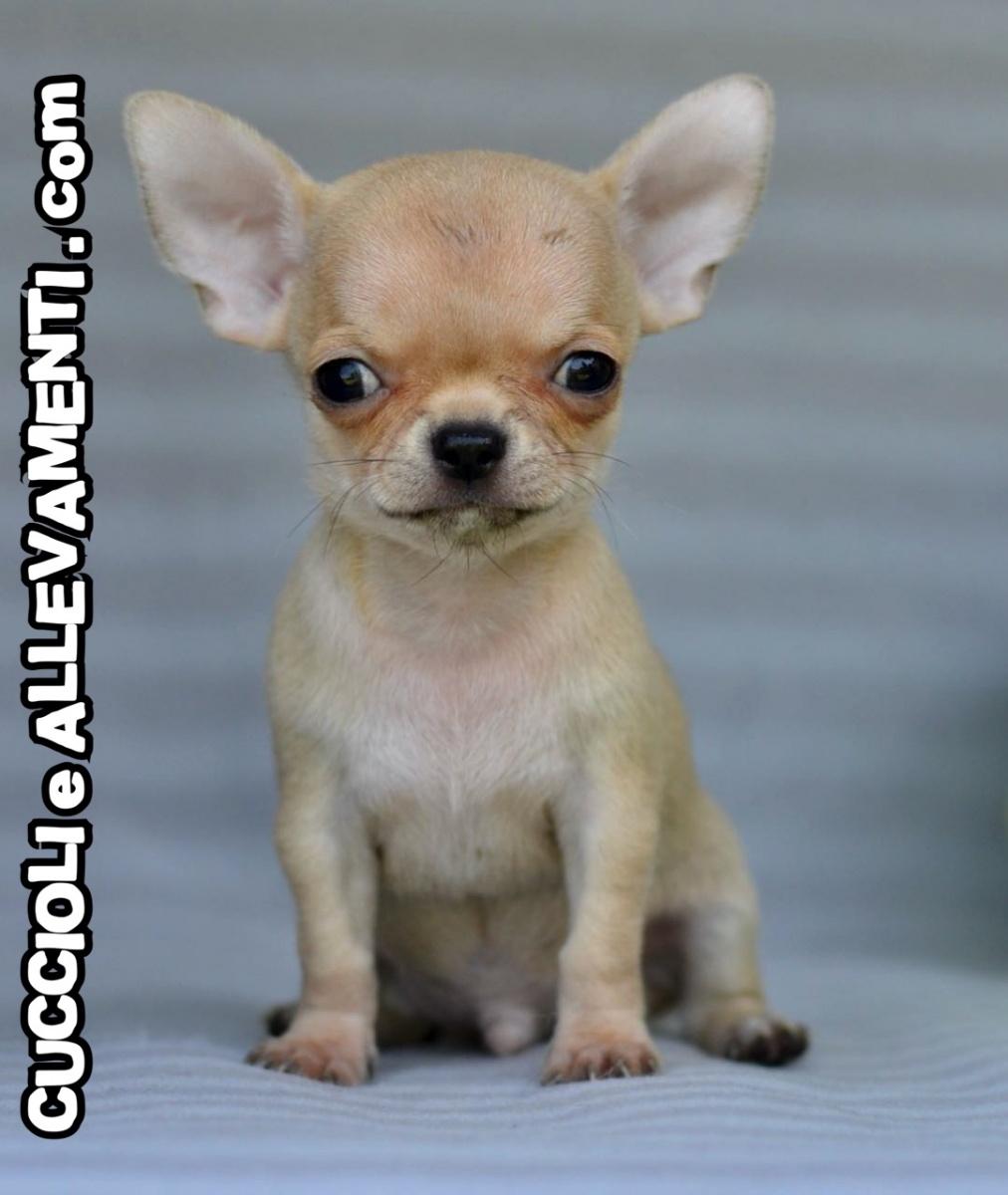 Chihuahua 20_wm
