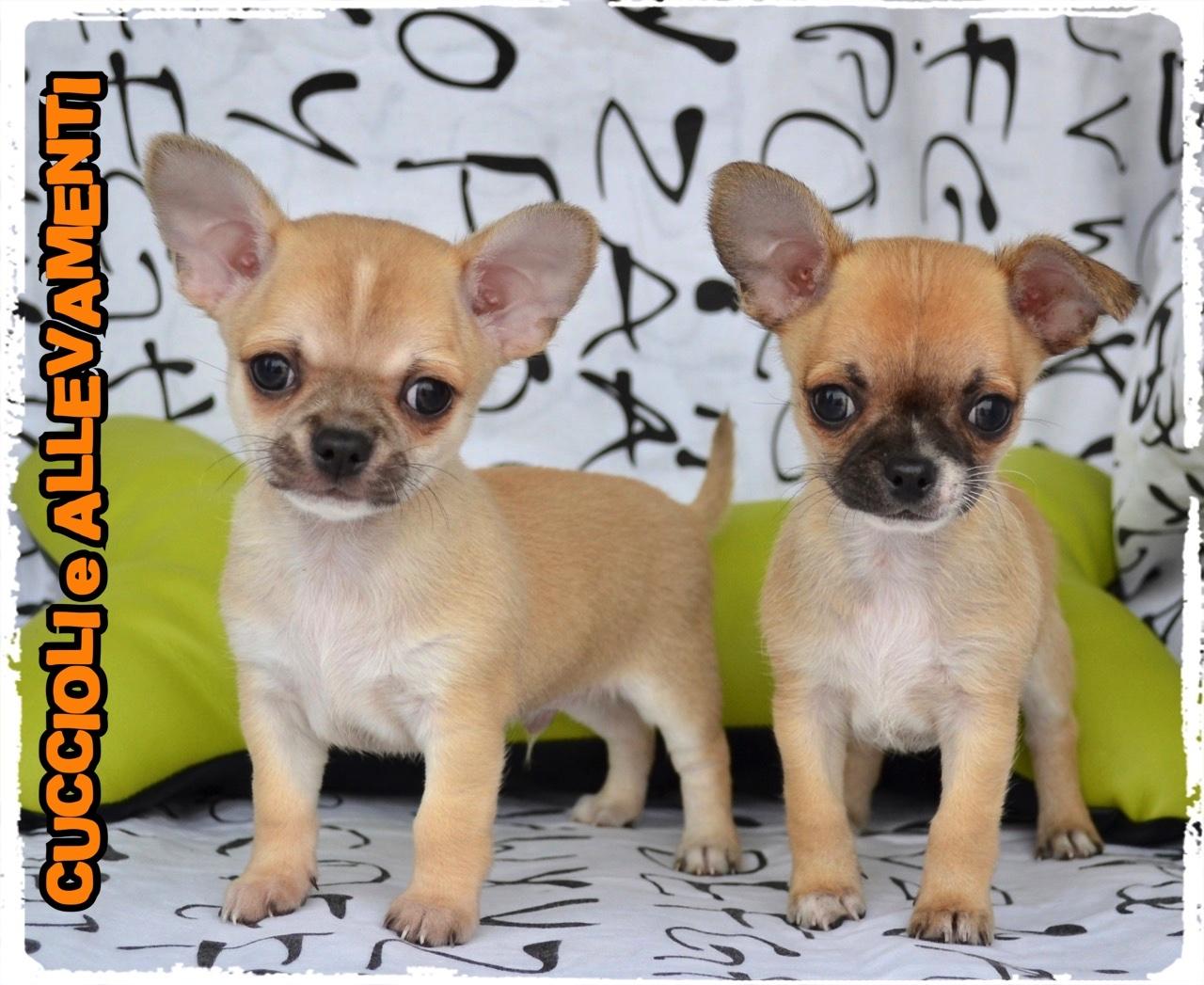 Chihuahua 21_wm