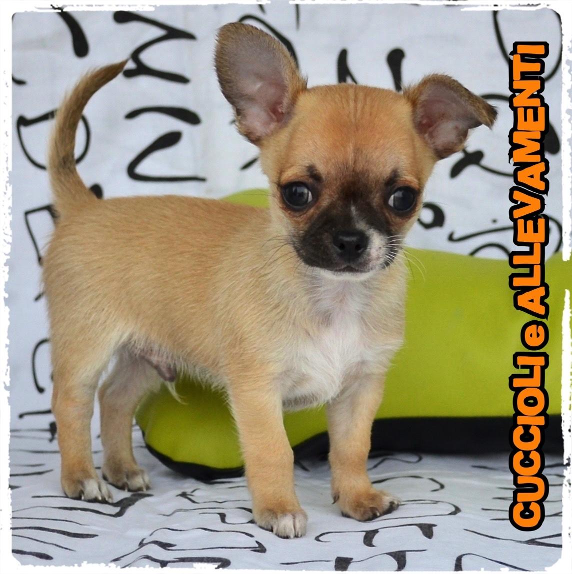 Chihuahua 22_wm