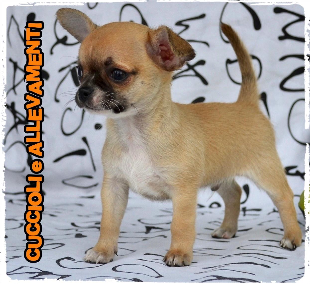 Chihuahua 23_wm