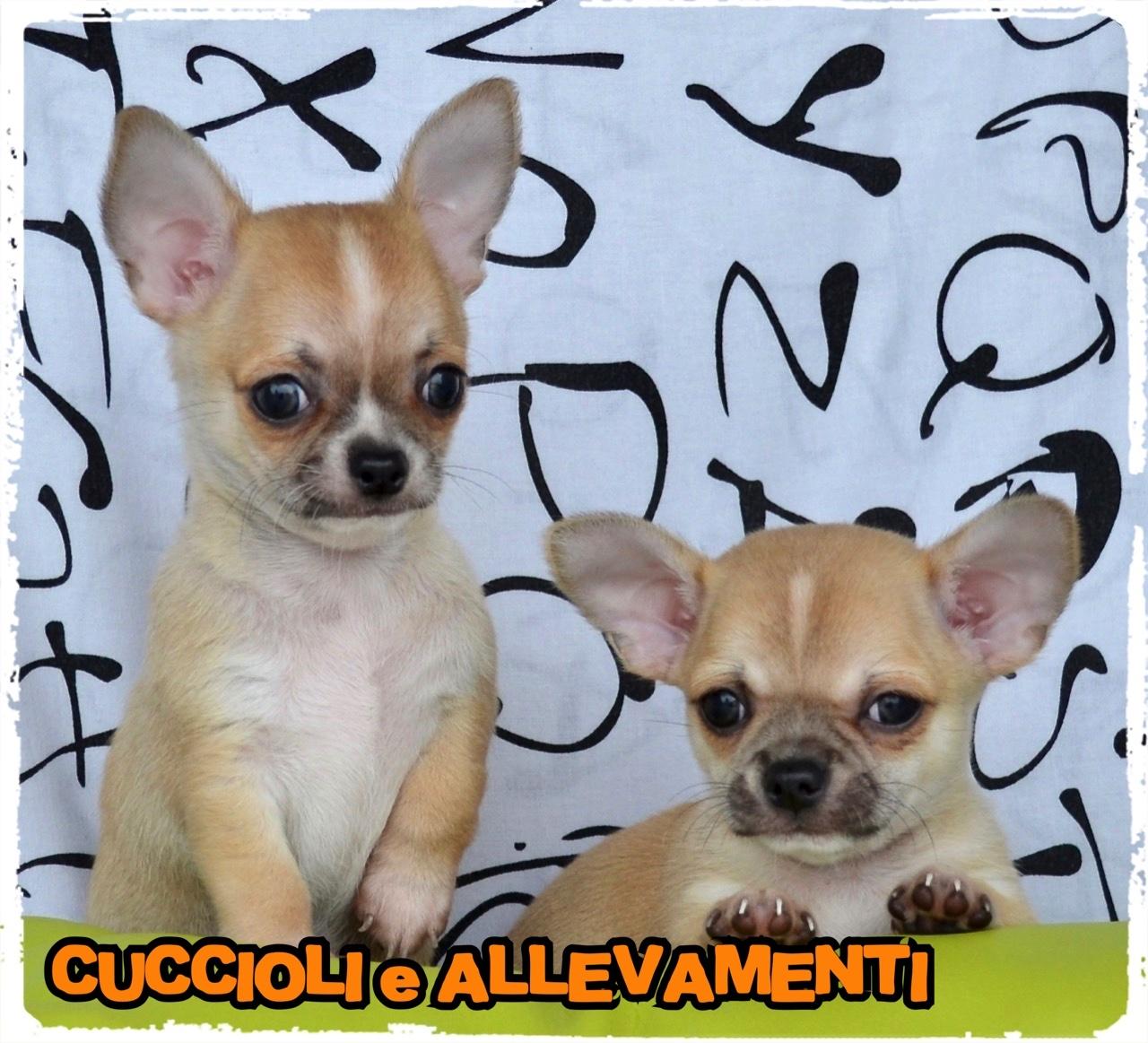 Chihuahua 24_wm