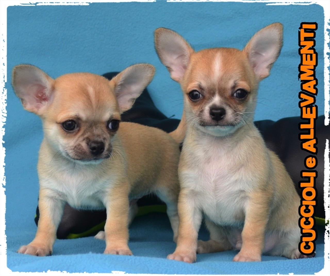 Chihuahua 25_wm