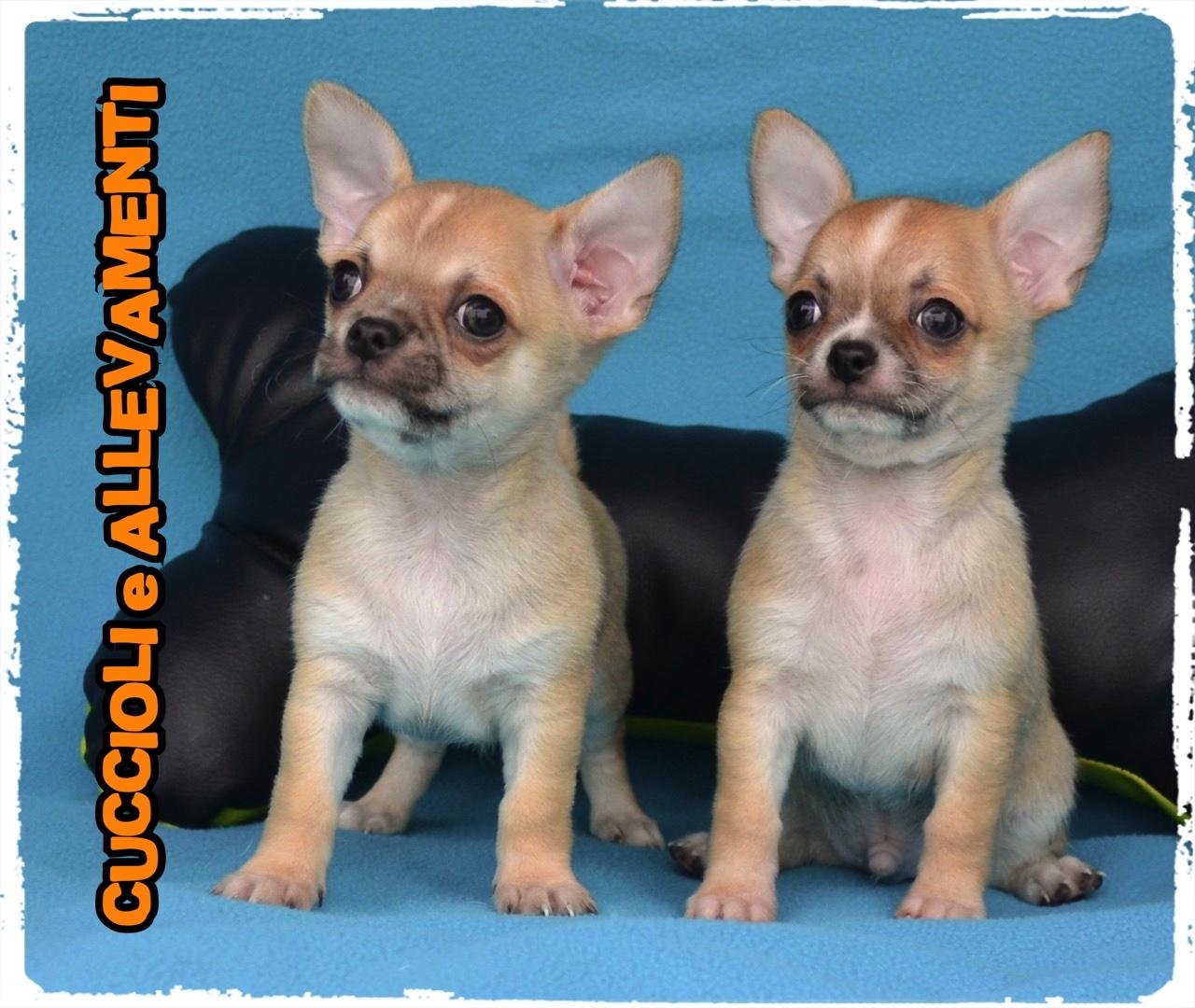Chihuahua 26_wm